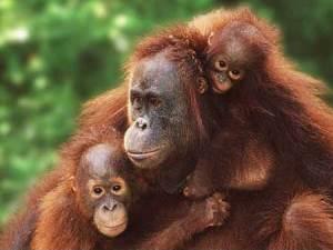 intro_menschenaffen_orangutan_g