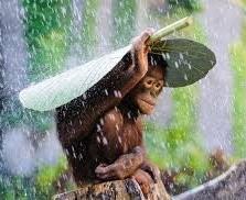 cropped-orangutan-gang-background.jpg