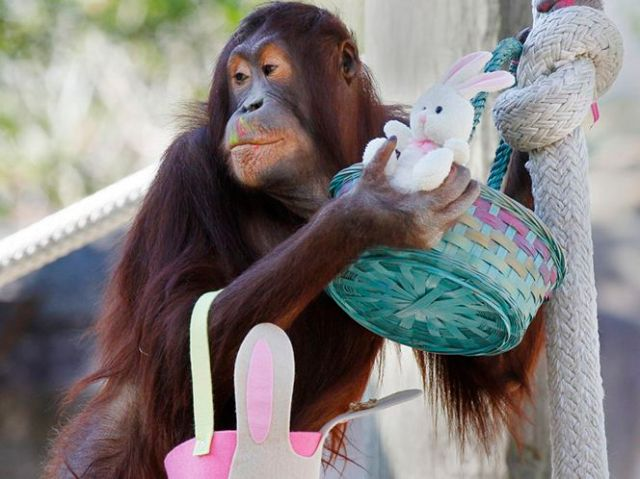 orangutan with easter basket