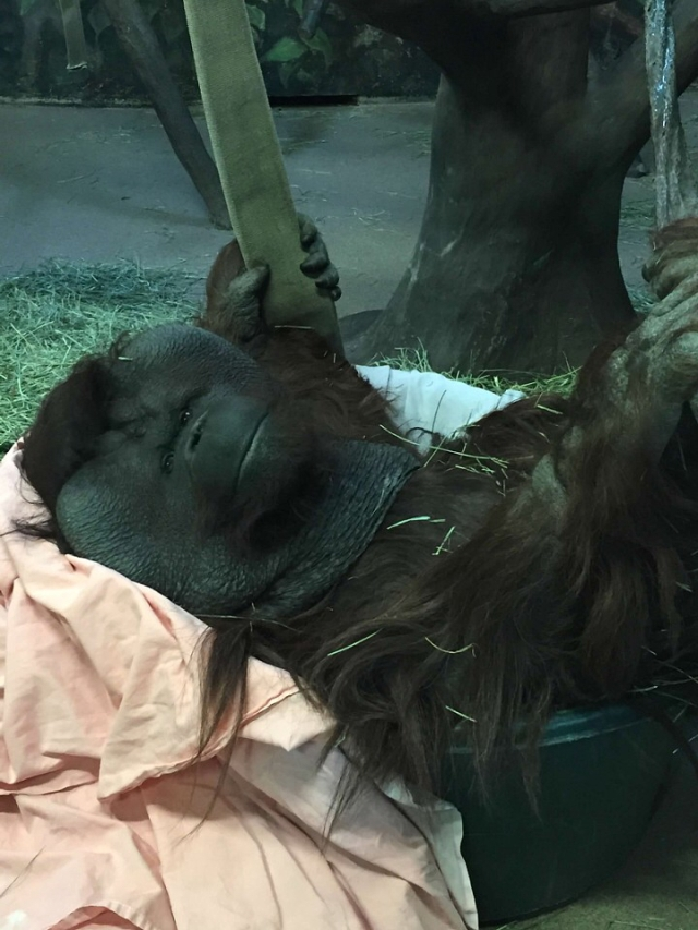 Mia the Orangutan