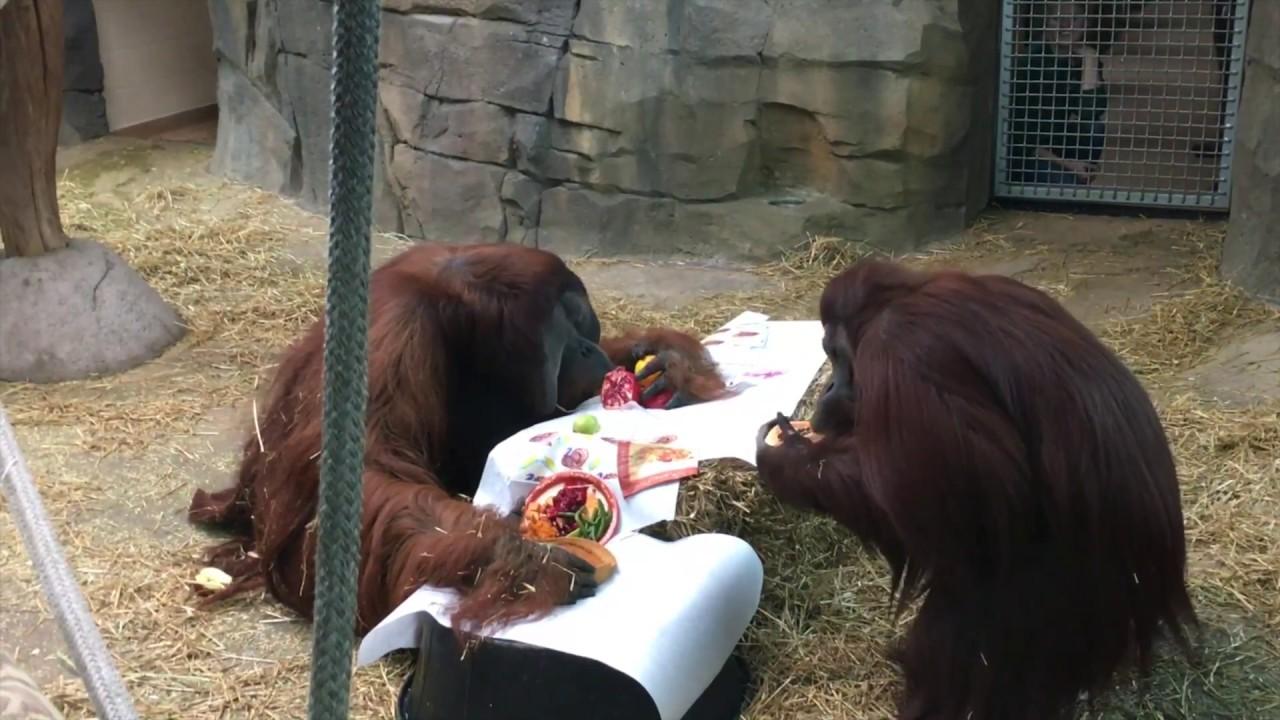 orangutan thanksgiving.jpg