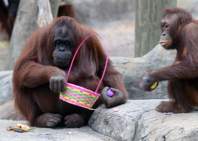 orangutan easter.jpg