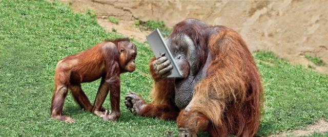 tablet orangutan